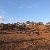Cattle Farm Tamworth